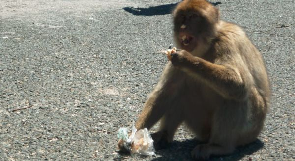 The Barbary macaque is eating my sandwich.
